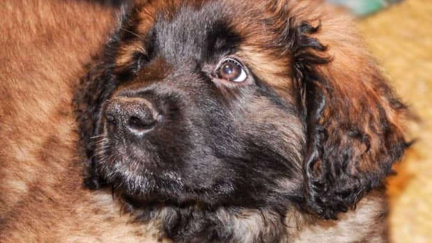 leonbergers-as-pets