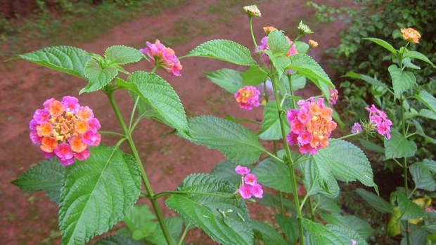 the-lantana-flower