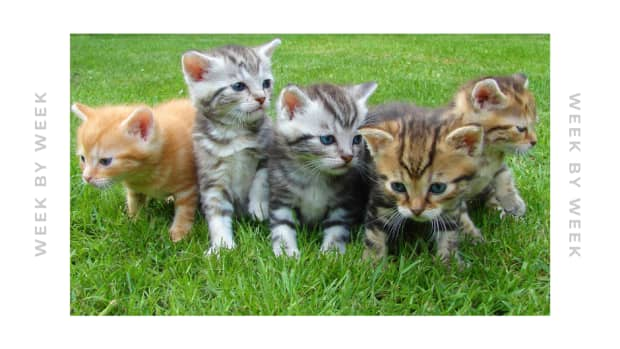 newborn-kitten-care-the-first-six-weeks