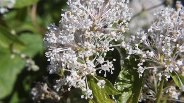 ceanothus-california-lilac