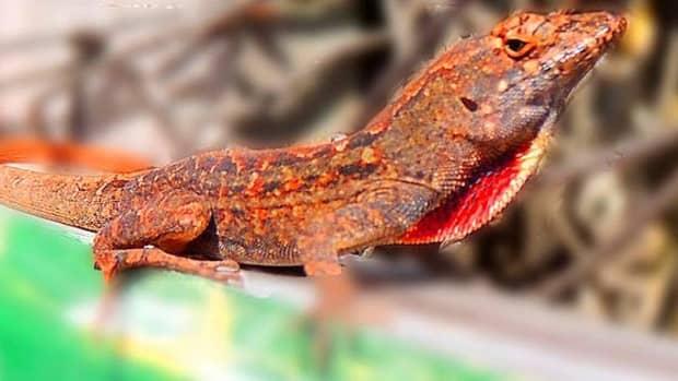 catch-a-lizard