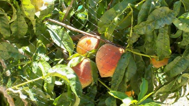 My Peaches!