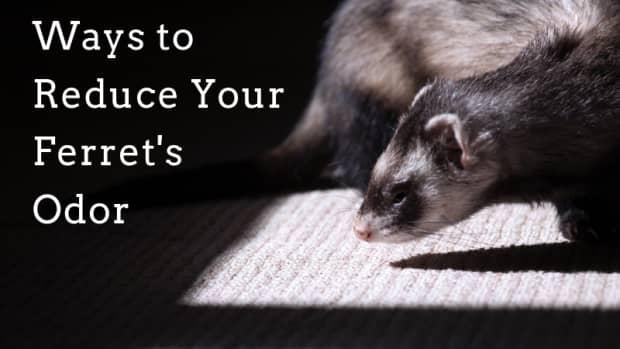 5-ways-to-reduce-ferret-odor