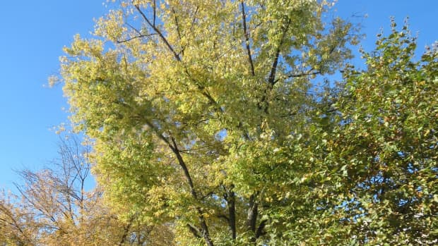 silver-maple-the-nuisance-tree