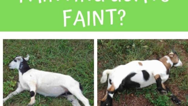 why-do-fainting-goats-faint