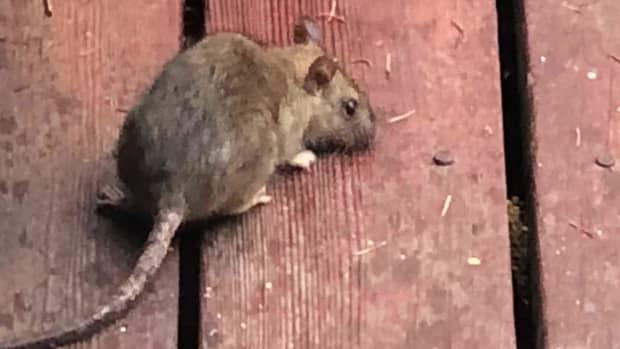 kill-rats