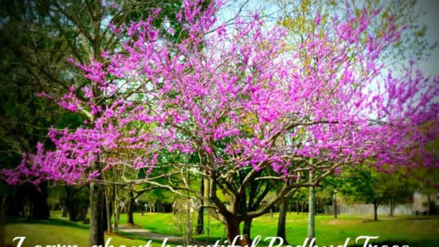 the-beautiful-spring-flowering-redbud-tree-in-landscapes