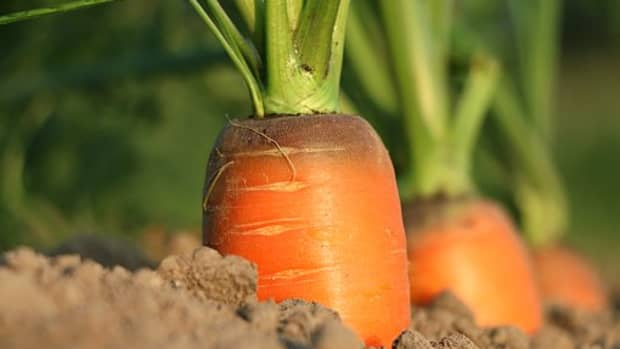 growing-carrots-from-seed