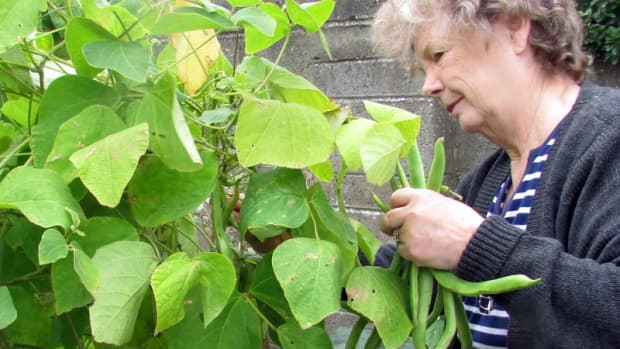 how-to-plant-grow-and-harvest-runner-beans-planting-growing-harvesting-garden-gardening-tips-do-you
