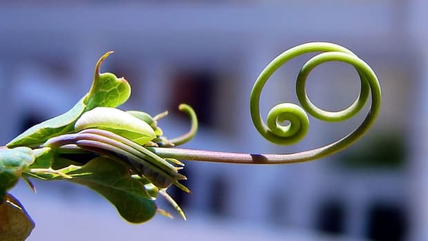what-is-the-difference-between-a-bine-and-a-vine