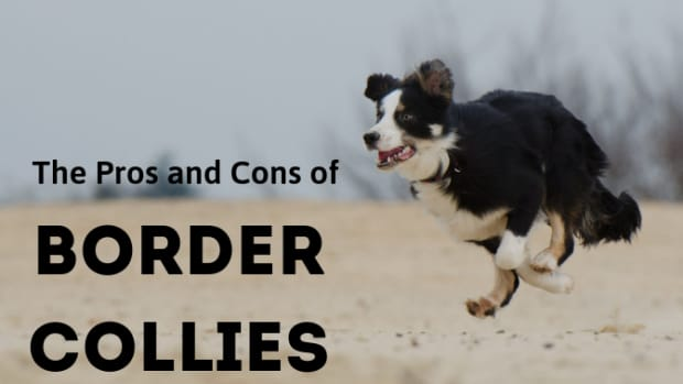 choosing-a-border-collie-pros-and-cons