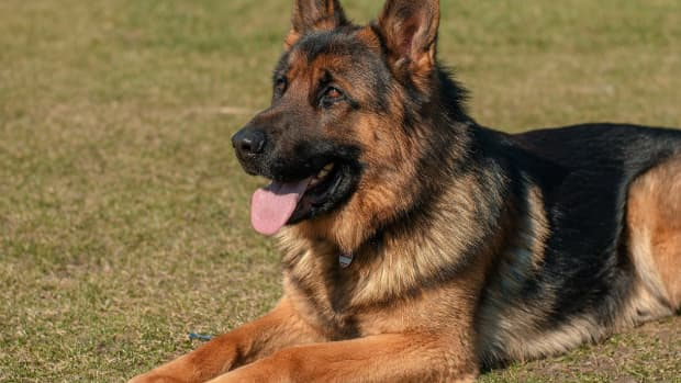 how-to-train-a-german-shepherd-to-lie-down