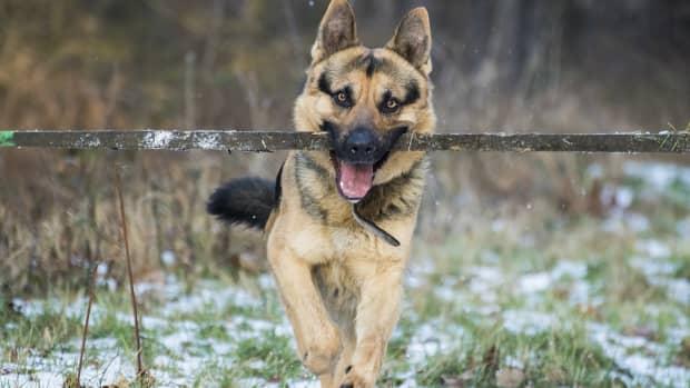 ticks-on-german-shepherd-dogs