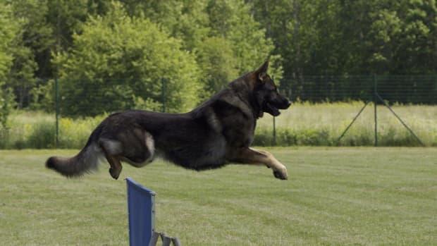 east-german-shepherd-dogs