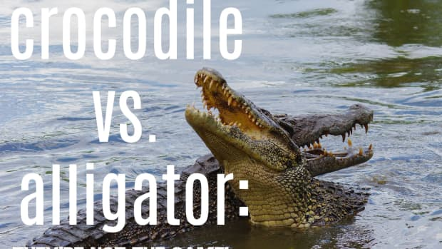 whats-the-difference-between-alligators-and-crocodiles