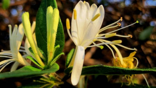 honeysuckle-for-colds-and-flu