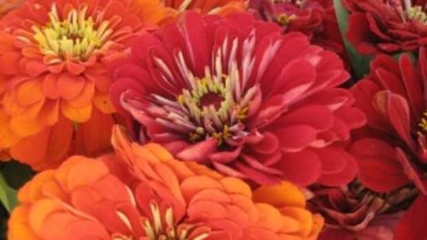 growing-zinnia-flowers