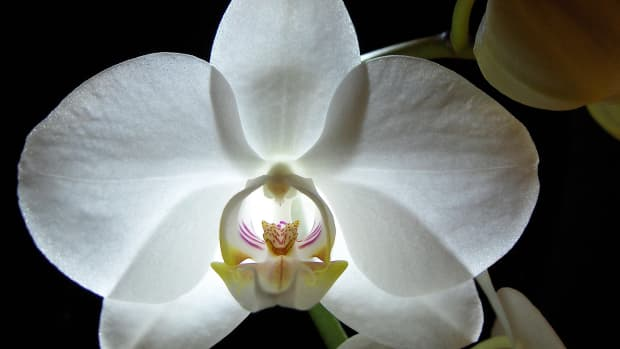 an-orchid-is-like-a-woman
