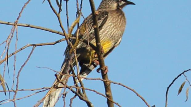 australian-native-birds-the-red-wattle-bird