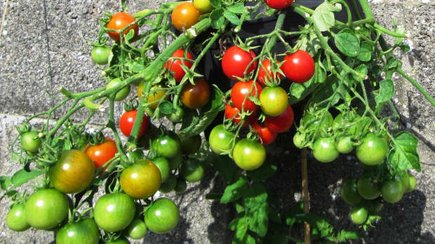 grow-tomatoes-containers-pots-bags-growing-how-to-container-gardening-in-fruits-vegetables