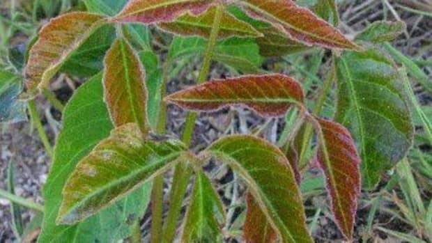 spotting-eradicating-poison-ivy