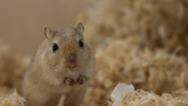 care-for-gerbil-with-broken-teeth
