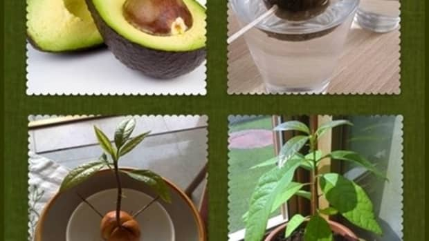 avocado-how-to-grow-avocados