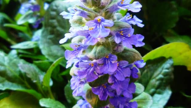 ajuga-ground-cover-as-gardening-gifts-for-the-home-gardener