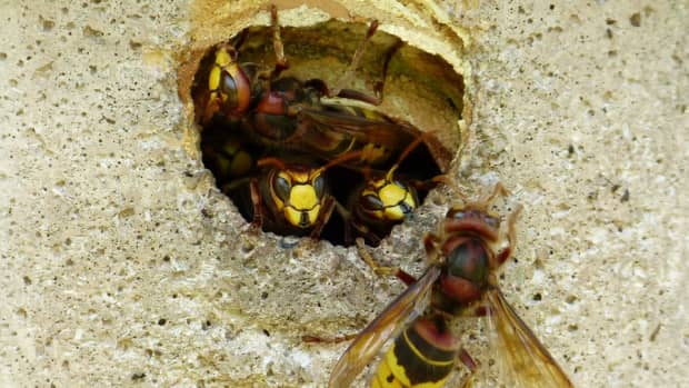 get-rid-of-yellow-jackets-have-a-sting-free-summer-the-natural-way