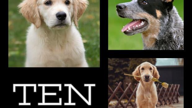 top-ten-smartest-dog-breeds