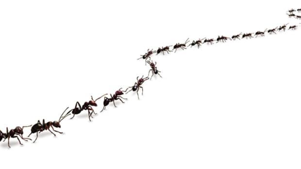 homemade-ant-killer