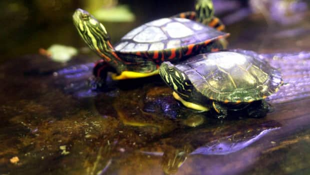 five-false-notions-about-the-pet-turtle