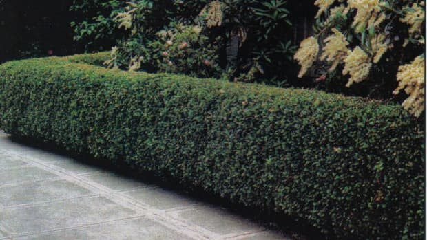 how-to-care-for-a-peking-cotoneaster-hedge