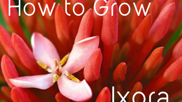 ixora-facts-and-growing-tips