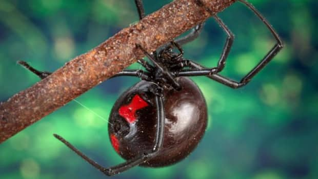 the-patriotic-black-widow-spiders-of-world-war-ii