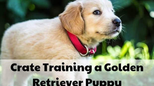 how-to-crate-train-a-golden-retriever-puppy