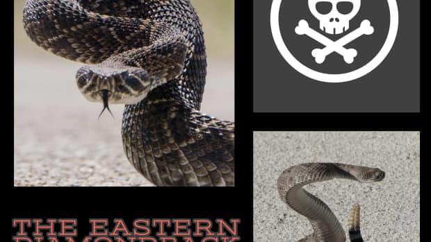 the-eastern-diamondback-aggressive-and-highly-venomous