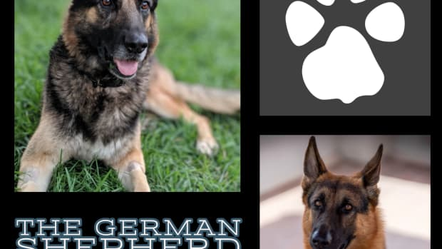 the-german-shepherd-a-guide-for-owners
