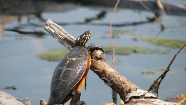 wild-vs-bought-turtles
