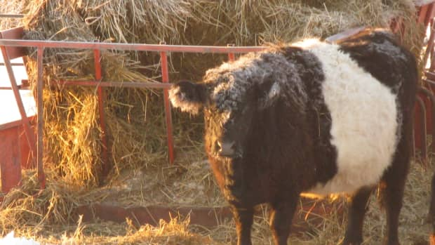 belted-galloway-galloways-belties-heritage-rare-breed-cattle-cows-pastured-beef