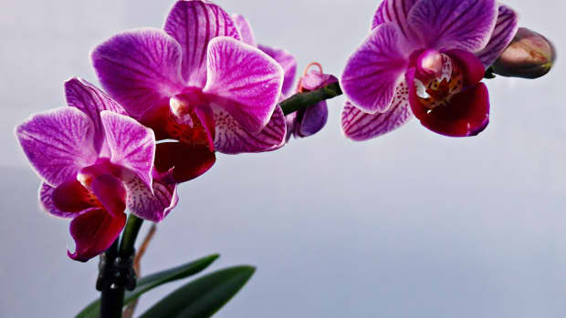 how-to-grow-orchid-info