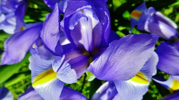 pictures-of-cut-louisiana-irises-great-birthday-gifts-growing-irises