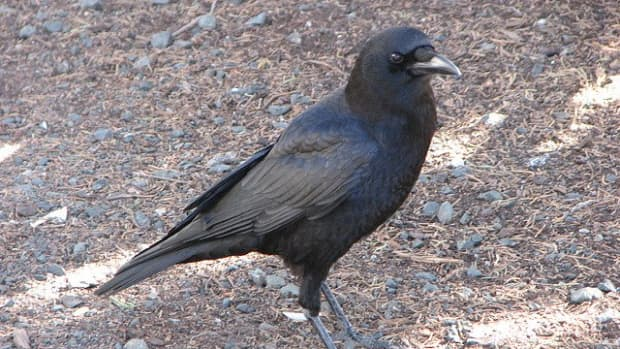 american-crow-the-bird-most-people-hate