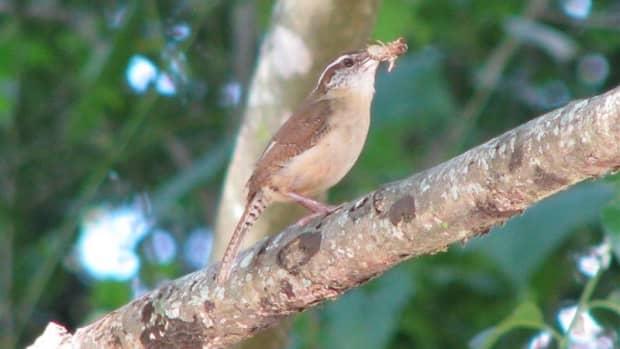 pictures-birds-carolina-wren-babies