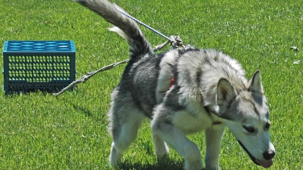 how-to-train-dogs-malamute-puppy-pull-training