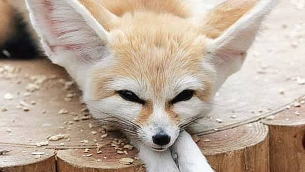 fennec-foxes-facts-photos-videos-and-exotic-pets