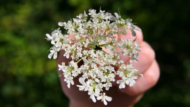 how-to-identify-queen-annes-lace-wild-carrot
