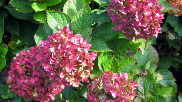 planthydrangeasforlargelonglastingblooms