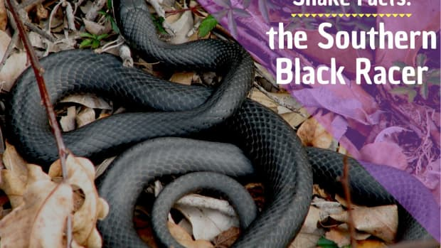 facts-about-southern-black-racer-snakes