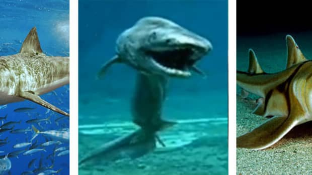 types-of-sharks